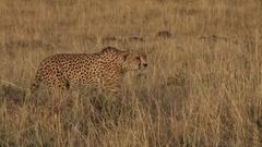 A cheetah stalking an antelope Stock Footage