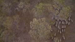 Wool production - aerial sheep herding in native bush vegetation Stock Footage