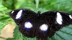 Great Eggfly butterfly (Hypolimnas bolina) Arkistovideo