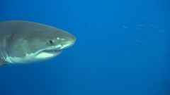 Great diving with great white sharks near the island of Guadalupe. Mexico. Stock Footage