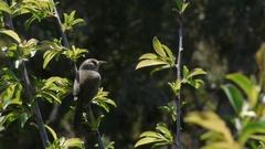 Bird On Vertical Branch Singing Stock Footage
