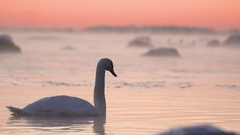 Swan swimming in the icy water Stock Footage