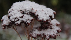 Dead plant with snow on top pan left to right Stock Footage
