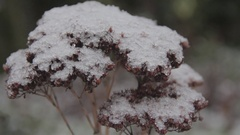 Cinestyle - plant with snow on top pan left to right Stock Footage