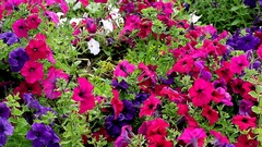 Colorful Petunia in the flowerbed Stock Footage