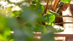 Pruning rose bushes in garden Stock Footage