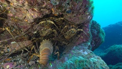 Lot of lobster in a hole - Underwater shot Stock Footage