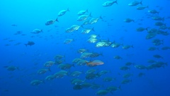 School of tropical fish, Socorro - Whitetongue jack, Uraspis helvola Stock Footage