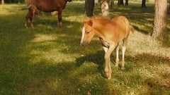 Horses Graze in the Forest. Foal and Its Mother. Stock Footage