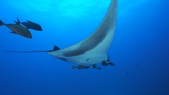 Giant manta ray swimming in the blue - Socorro, San Benedicto island Stock Footage