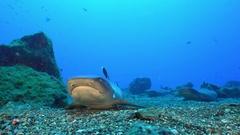 Lying whitetip reef shark on seafloor - Socorro island Stock Footage