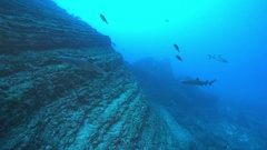 School of sharks swimming in the blue. Hunting sharks - Socorro island Stock Footage