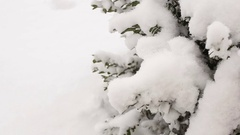 Boxwood shrubs under the snow, close-up.Video full hd Stock Footage