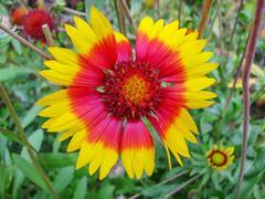 Yellow-red flower rudbeckia Stock Photos