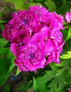 Flowers phlox - genus of herbaceous plants Stock Photos