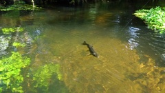 Under water shot of Brown trout swimming around a natural stream. The light Stock Footage