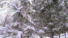 Evergreen tree covered in fresh snow. Stock Footage