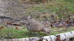 Female Pheasant Searching for Food Stock Footage