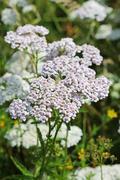 Yarrow (lat. Achillea millefolium) Stock Photos