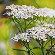 Blooming common Yarrow ( lat. Achillea millefolilium ) Stock Photos