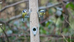 Several Blue Tits on a Bird Feeder Stock Footage