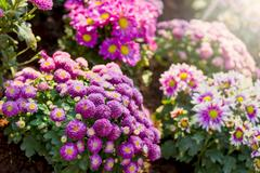Colorful chrysanthemums in the garden Stock Photos