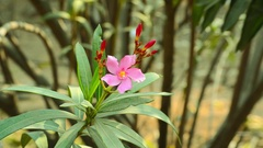Pink Flower With Many Green Leaves And Small Red Flowers Are In The Garden Stock Footage