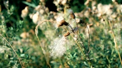Dry common sowthistle flower with fluff Stock Footage