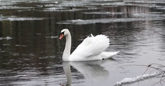 Wild Birds in the River. Ducks and Swans Swim in the River Under the Snow Stock Footage