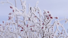 Rose hip with ice crystals and snow on blue sky background Stock Footage