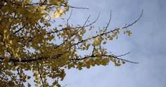 Sun Shining Through Yellow Leaves. Blue Sky. Golden Autumn. Beautiful Stock Footage