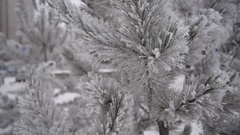1Pine covered with snow  Snow clung pine needles Stock Footage