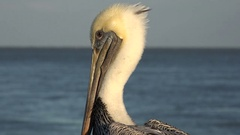 Brown pelican on pier, St Simons Island, Georgia, USA Stock Footage