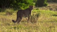 Cheetah walks past Rhino Stock Footage