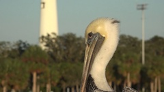 Brown pelican and lighthouse at St Simons Island, Georgia, USA Stock Footage