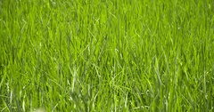 Paddy field, Peru  (Amazon destrict) Stock Footage