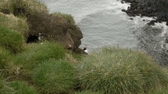 Atlantic Puffin looking out of his burrow behind focus Stock Footage