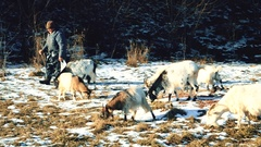 Shepherd pasturing many goats in winter Stock Footage