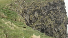 Atlantic Puffin and Iceland Gull nesting cliff Stock Footage