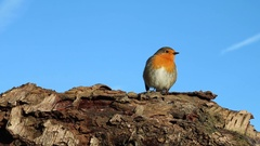 Robin singing while perched on log with blue sky background Stock Footage