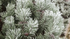 Pine branch with long needles in the frost. Stock Footage