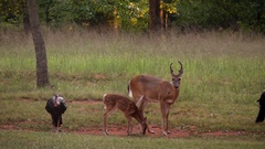 Young buck and spotted fawn graze together turkeys Stock Footage