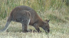Bennett's Wallaby feeding on grass in the late afternoon Stock Footage