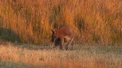 Bennett's Wallaby scratching back and feed on grass in the red afternoon sun Stock Footage