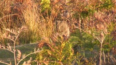 Common Wombat sit and looking behind tall grass in bush on a sunny day NT Stock Footage