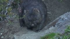 Common Wombat scratch stomach amd sniffing around Stock Footage