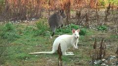 Albino Bennett's Wallaby looking around Stock Footage