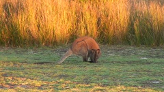 Bennett's Wallaby feeding on grass in the red afternoon sun Stock Footage