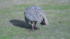 Cape Barren Goose feed on grass field on a sunny day Stock Footage