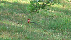 Eastern Rosella walks in green grass on a sunny day Stock Footage